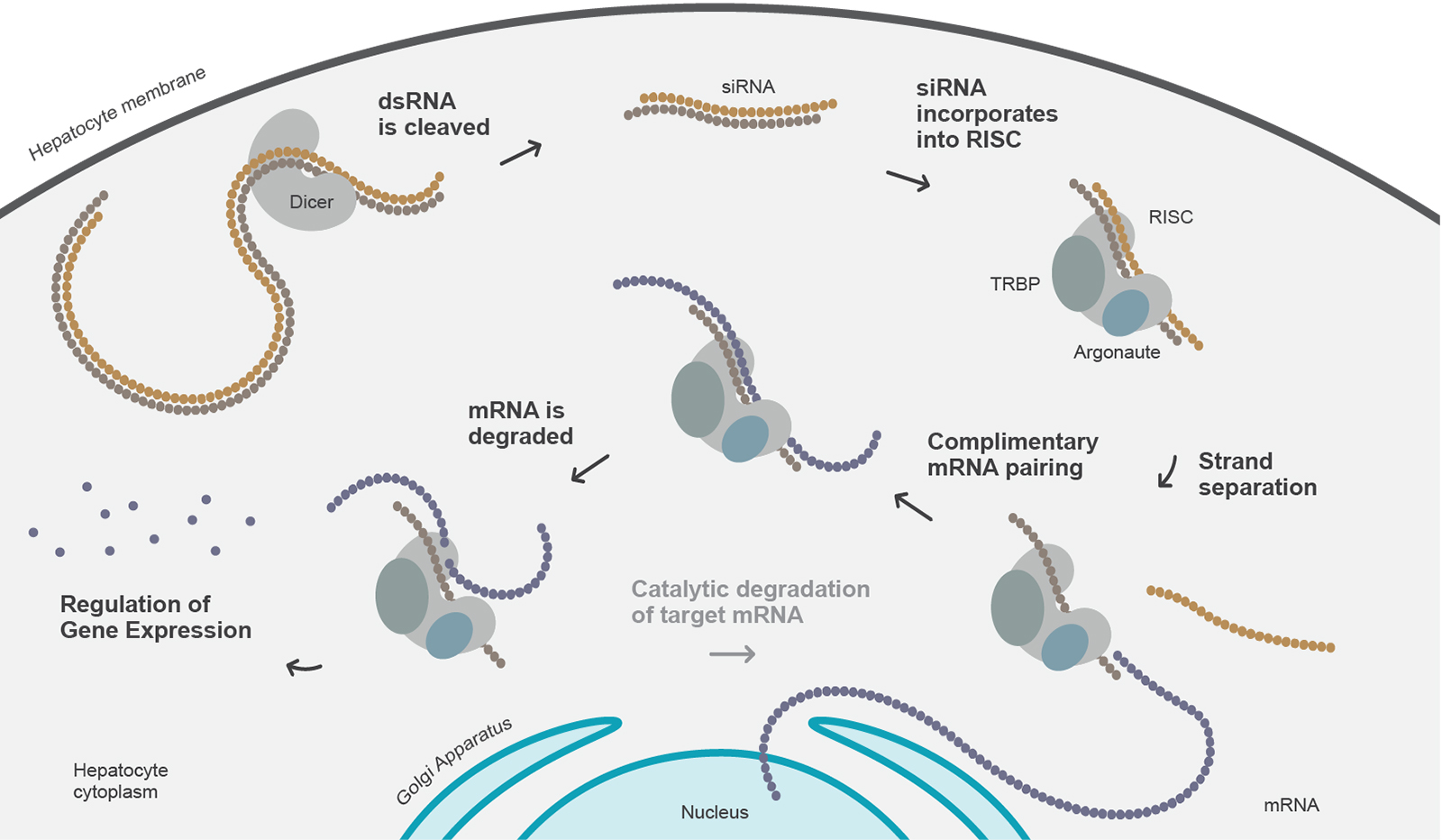 The Medicines Company, RNAi Mechanism of Action